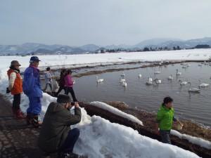 白鳥の飛来地にもなっている会津美里町。案内してもらい餌をあげた